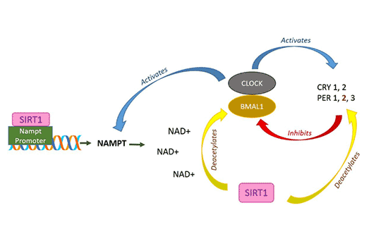 Quercetin激活或抑制蛋白质的活性